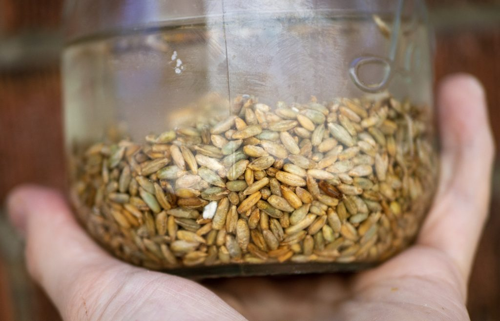 soaking grains for sprouting grains
